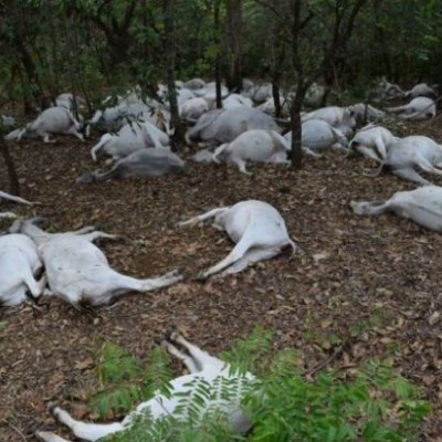 Raio cai em fazenda e mata 60 cabeças de gado