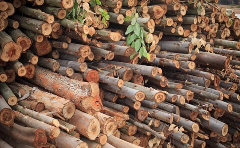 Florestas plantadas de eucalipto e de pinus no Brasil somam mais de 6,7 milhões de hectares — Foto: Divulgação